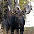Bull Moose Approaching by Jean Clark