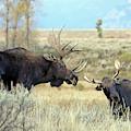 Bull Moose Challenge by Jean Clark