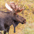 Bull Moose In Fall Colors by Tony Hake