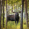 Bull Moose In Fall Forest by Scott Slone