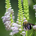 Bumblebee On Obedient Flower by Karen Adams