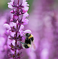 Bumblebee On Salvia Flowers by Tim Gainey