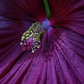 Burgundy Hibiscus by Linda Howes