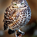 Burrowing Owl Canvas Print,photographic Print,art Print,framed Print,greeting Card,iphone Case, by David Millenheft