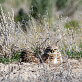 Burrowing Owls by Michael Chatt
