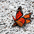 Butterflies Mating by Cynthia Guinn
