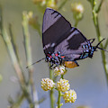 Great Blue Hairstreak Butterfly 6264-102618-1cr by Tam Ryan