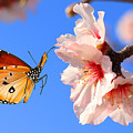 Butterfly And Pink Almond Tree Blossom by Protasov An