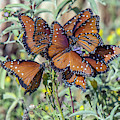 Butterfly Gathering 3589-100918 by Tam Ryan