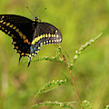 Butterfly Perch Royal Palm Beach Pines Nature Area by Lawrence S Richardson Jr