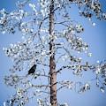 Bye Bye Blackbird by Karen Wiles