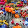Cacti Flowers by Top Wallpapers