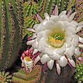 Cactus Blossom 3  by Lynda Lehmann
