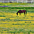 California Grazing by Glenn McCarthy Art and Photography