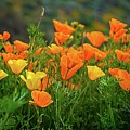 California Poppies In Walker Canyon by Lynn Bauer