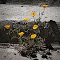 California Poppy Trying by Mark Valentine