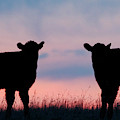Calves After Sunset 02 by Rob Graham