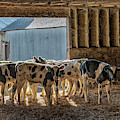 Calves by Jim Thompson