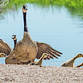 Canada Geese And Adults 7496-041819 by Tam Ryan