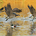 Canada Geese And Northern Shoveler 2458-012119 by Tam Ryan
