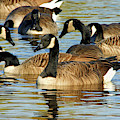 Canada Geese by Debbie Stahre