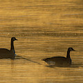 Canada Geese In The Mist 2510-012219 by Tam Ryan