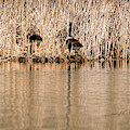 Canada Goose Nest Building by Edward Peterson