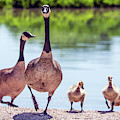 Canada Goslings And Adults 7503-041819-2 by Tam Ryan