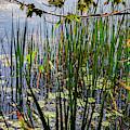 Canandaigua Lake Marsh Reeds by William Norton