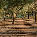 Canberra Cork Plantation 07 by Werner Padarin