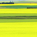 Canola Abstract by Philip Rispin