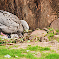 Cape Barren Goose by Rob D Imagery