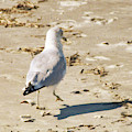 Cape May Seagull Pace by JAMART Photography