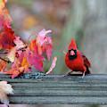 Cardinal In Fall On Fence Post by Dan Friend
