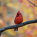 Cardinal In Front Of Yellow And Red Leaves by Dan Friend