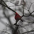 Cardinal On The Limb by Pics by Jody Adams