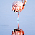 Caribbean Flamingo, Galapagos Islands by Joseph Van Os