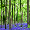 Carpet Of Bluebells Growing In The by Adam Burton / Robertharding