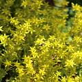 Carpet Of Golden Yellow Creeping Sedum by Colleen Cornelius