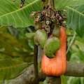Cashew Apple And Nuts by Bradford Martin