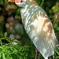 Cattle Egret In The Shade by Christopher Holmes