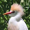 Cattle Egret Profile by Carol Groenen