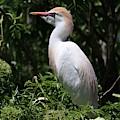 Cattle Egret With Breeding Feathers by Carol Groenen