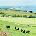 cattle in field and east coast Berwickshire by Victor Lord Denovan