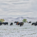 Cattle In Snow by Jim Thompson