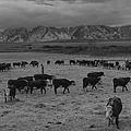 Cattle In South Farm by Buyenlarge