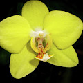 Caution Yellow Orchid by Jean Noren