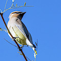 Cedar Waxwing 5409-022619 by Tam Ryan