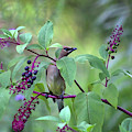 Cedar Waxwing In Pokeberry by Karen Adams
