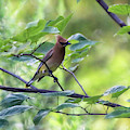 Cedar Waxwing In Redbud Tree by Karen Adams